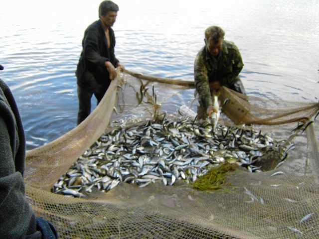 ловля рыбы неводом на волге